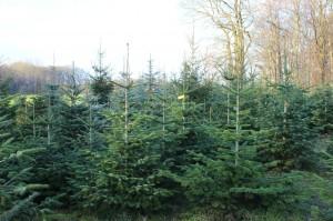 Weihnachtsbaumverkauf_10